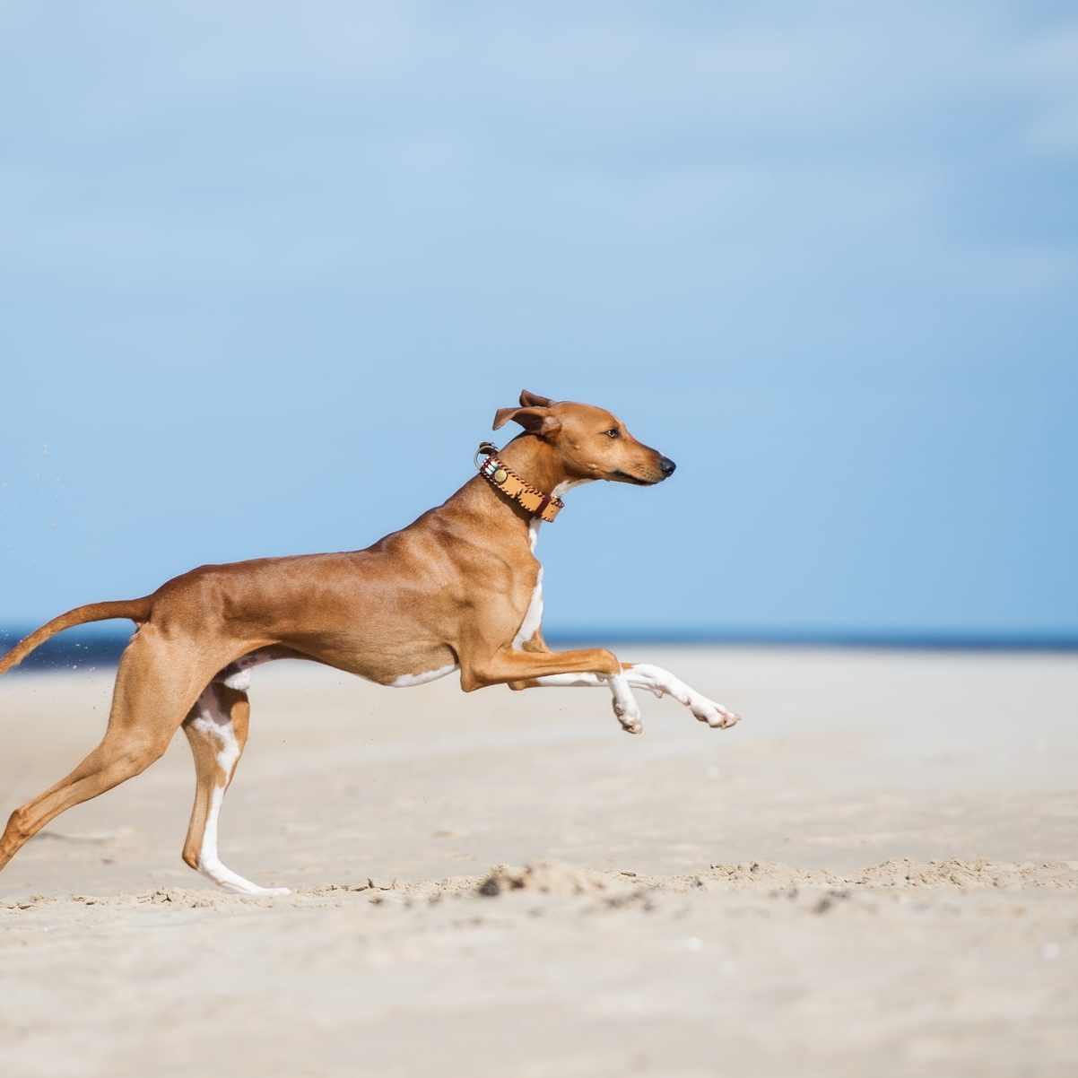 happy azawakh dog running on the beach